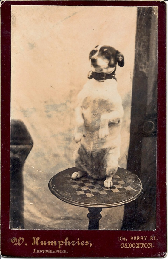 Begging Terrier Cabinet Card c. 1890