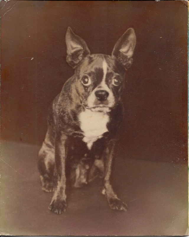 Boston Terrier 1950's?