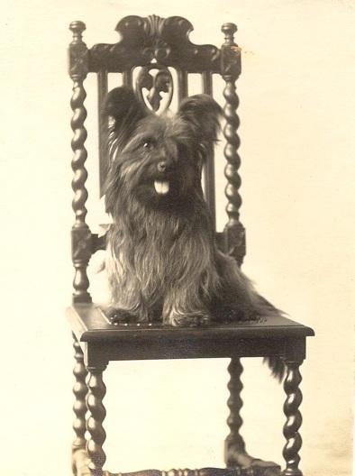 Skye terrier on chair