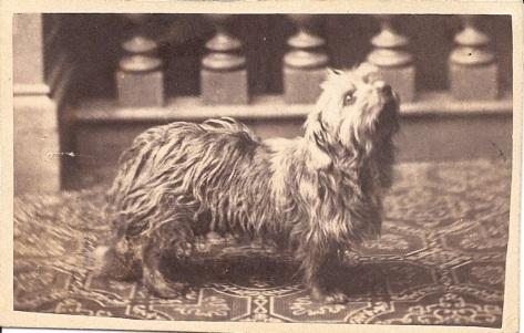 CDV of Terrier c. 1890